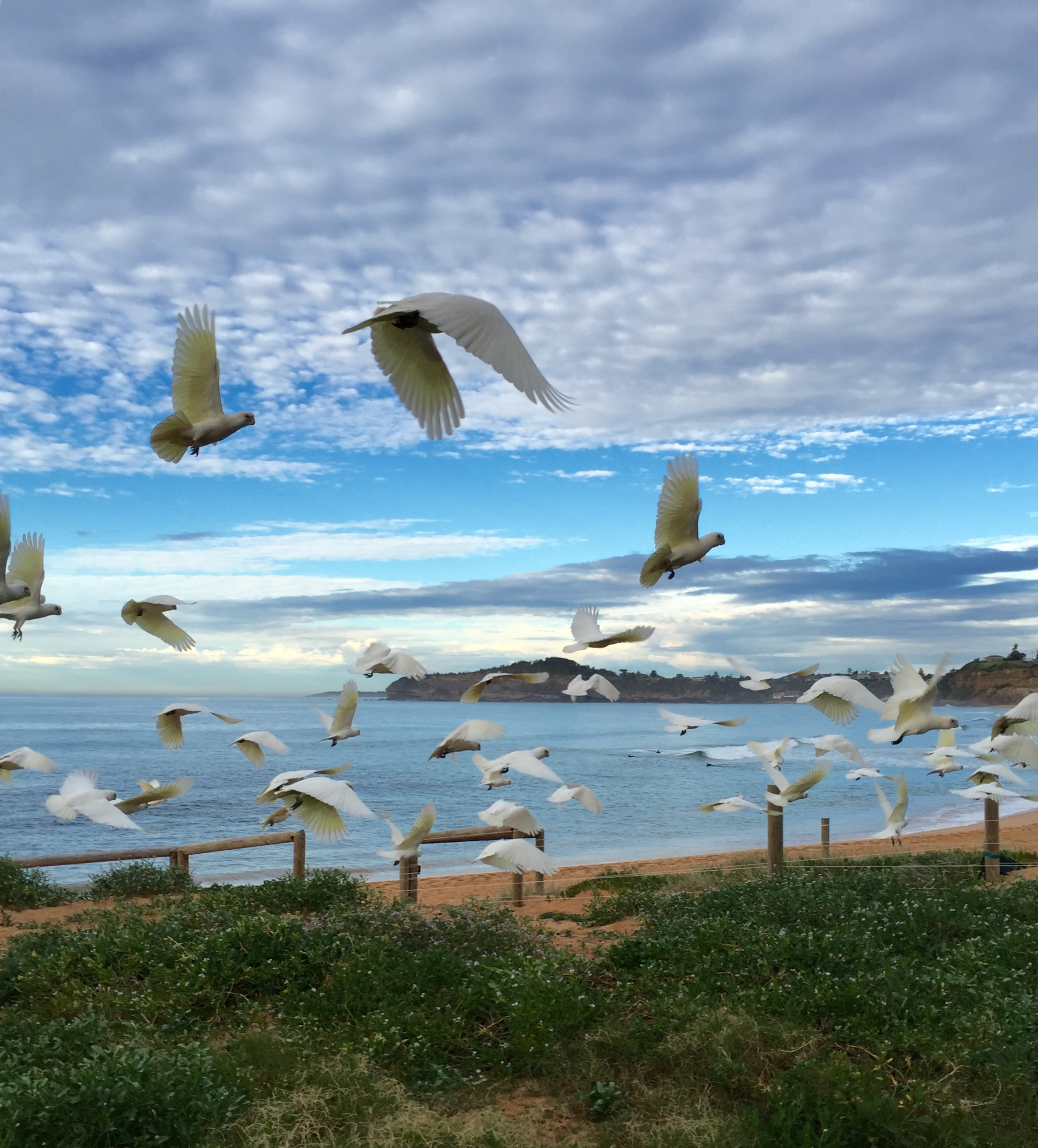 Seagulls flying above Mona Vale beach